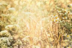 De achtergrond van de de zomeraard met gebied en madeliefjesbloemen stock fotografie