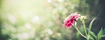 De achtergrond van de de zomeraard met roze bloem bij bokeh Het malplaatje van de bloementuin stock foto