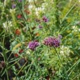 De achtergrond van de de zomerkleur Lilac bloemen op de groene grasachtergrond royalty-vrije stock fotografie