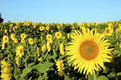 De achtergrond van de zonnebloem Stock Foto