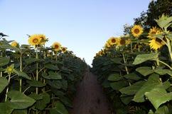 De achtergrond van de zonnebloem Royalty-vrije Stock Foto's