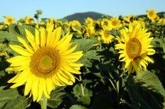 De achtergrond van de zonnebloem Royalty-vrije Stock Afbeeldingen
