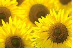 De achtergrond van de zonnebloem De zomer en olieconcept Royalty-vrije Stock Foto's