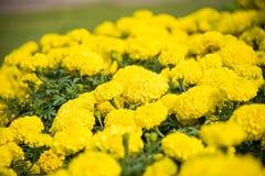 De achtergrond is volledig van Goudsbloem de gele die bloemen worden gevuld met zijn Stock Afbeeldingen