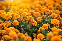 De achtergrond is volledig van Goudsbloem de gele die bloemen worden gevuld met zijn Stock Afbeelding
