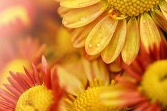 De achtergronden van de bloem Stock Afbeelding