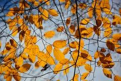 De achtergronden van de herfstbladeren Stock Afbeelding
