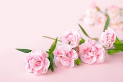 De achtergronden van de moedersdag, roze anjers op de roze achtergrond stock afbeelding