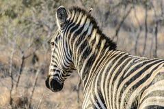 De achtermening van een zebra royalty-vrije stock afbeelding