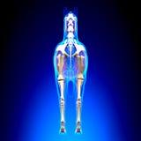 De Achtermening van het paardskelet - de Anatomie van Paardequus - over blauwe backgro stock illustratie