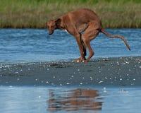 De achterschepen van Galgoespañol gazehounds op het strand royalty-vrije stock foto's