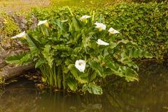 de acquatic witte die calla lelie als zantedeschiaaethiopica wordt bekend Royalty-vrije Stock Foto's