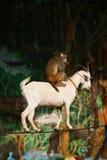 De acrobaten van de aap en van de geit van circus Royalty-vrije Stock Afbeeldingen