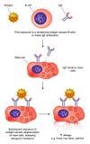 De actie en anaphylaxis van het antilichaam Stock Fotografie