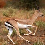 De actieschot van de gazelle Royalty-vrije Stock Afbeelding