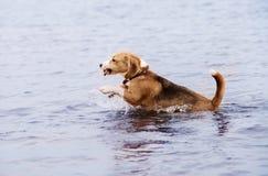 De actieve jonge looppas van de brakhond in het water stock afbeeldingen