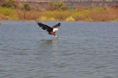 De adelaar die van vissen een vis vangt royalty-vrije stock fotografie