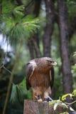 De adelaar is een kleine roofvogel In tegenstelling tot normale vogels, neigen de wijfjes groter te zijn dan mannetjes De adelaar royalty-vrije stock afbeelding