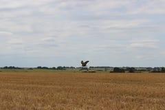 De adelaar en de grote gele gebieden van tarwe stock foto