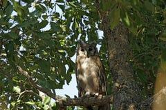 De adelaar-Uil van Verreaux royalty-vrije stock foto's