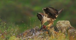De adelaar van BonelliStock Foto