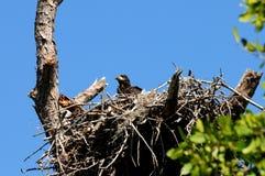 De adelaar van de baby in het nest Royalty-vrije Stock Afbeeldingen