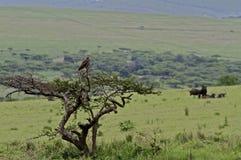 De adelaar van de slang in boom die savanne overziet Stock Afbeelding