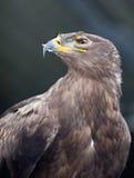 De adelaar van de steppe - stock afbeelding