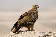 De adelaar van de steppe Royalty-vrije Stock Fotografie