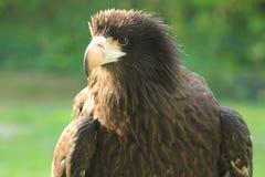 De adelaar van de steppe stock afbeelding
