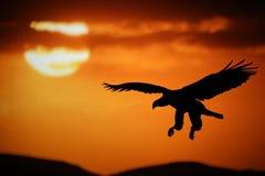 De adelaar van de zonsondergang stock foto's