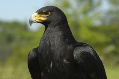 De adelaar van Verreaux Stock Foto's