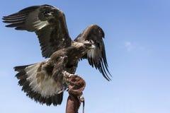 De adelaar zit op het wapen en de onderbrekingen in de bluhemel royalty-vrije stock foto