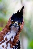 De adelaarsvoorzijde van de havik Royalty-vrije Stock Fotografie