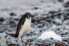 De Adeliepinguïn met blauwe ogen en geconcentreerd intens kijken op een rotsachtig strand, Torentjepunt, Koning George Island, Z royalty-vrije stock foto