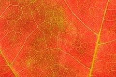 De Aders van de herfst royalty-vrije stock fotografie