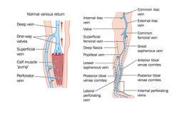 De aders van het been stock illustratie