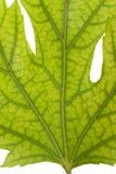 De aders van het blad in een groen esdoornblad stock foto