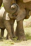 De affectie van de babyolifant Stock Afbeeldingen