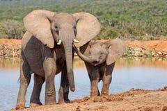 De affectie van de olifant Stock Fotografie