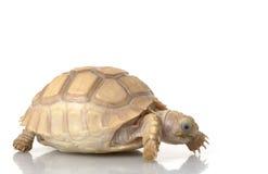 De Afrikaanse Aangespoorde Schildpad van het ivoor Royalty-vrije Stock Foto's