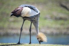 De Afrikaanse bekroonde kraan van het oosten, kleurrijk vogelgevederte, veren, wildli Stock Foto