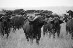 De Afrikaanse Benadering van Buffels op Serengeti Stock Foto's