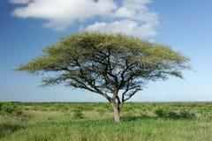 De Afrikaanse boom van de Acacia Stock Afbeeldingen