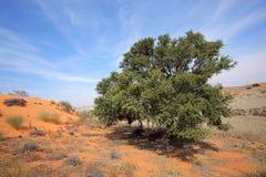 De Afrikaanse boom van de Acacia op duin stock afbeeldingen