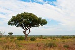 De Afrikaanse boom van het savannelandschap wth Stock Foto's