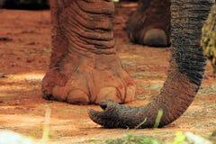 De Afrikaanse Boomstam van de Olifant stock fotografie