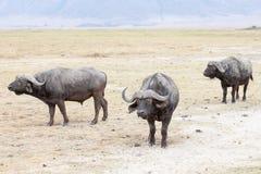 De Afrikaanse buffels of Kaapbuffels stock foto