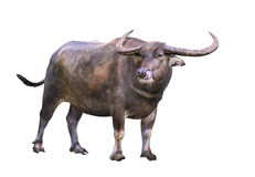De Afrikaanse Buffels van de Kaap Royalty-vrije Stock Foto's