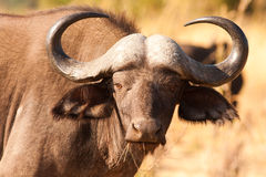 De Afrikaanse Buffels van de Kaap Stock Foto's